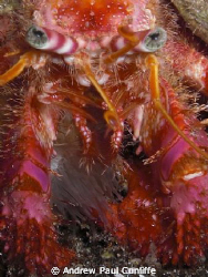 Hermit crab, taken on a night dive with only internal fla... by Andrew Paul Cunliffe 
